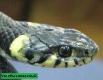 Змеи Куршской косы